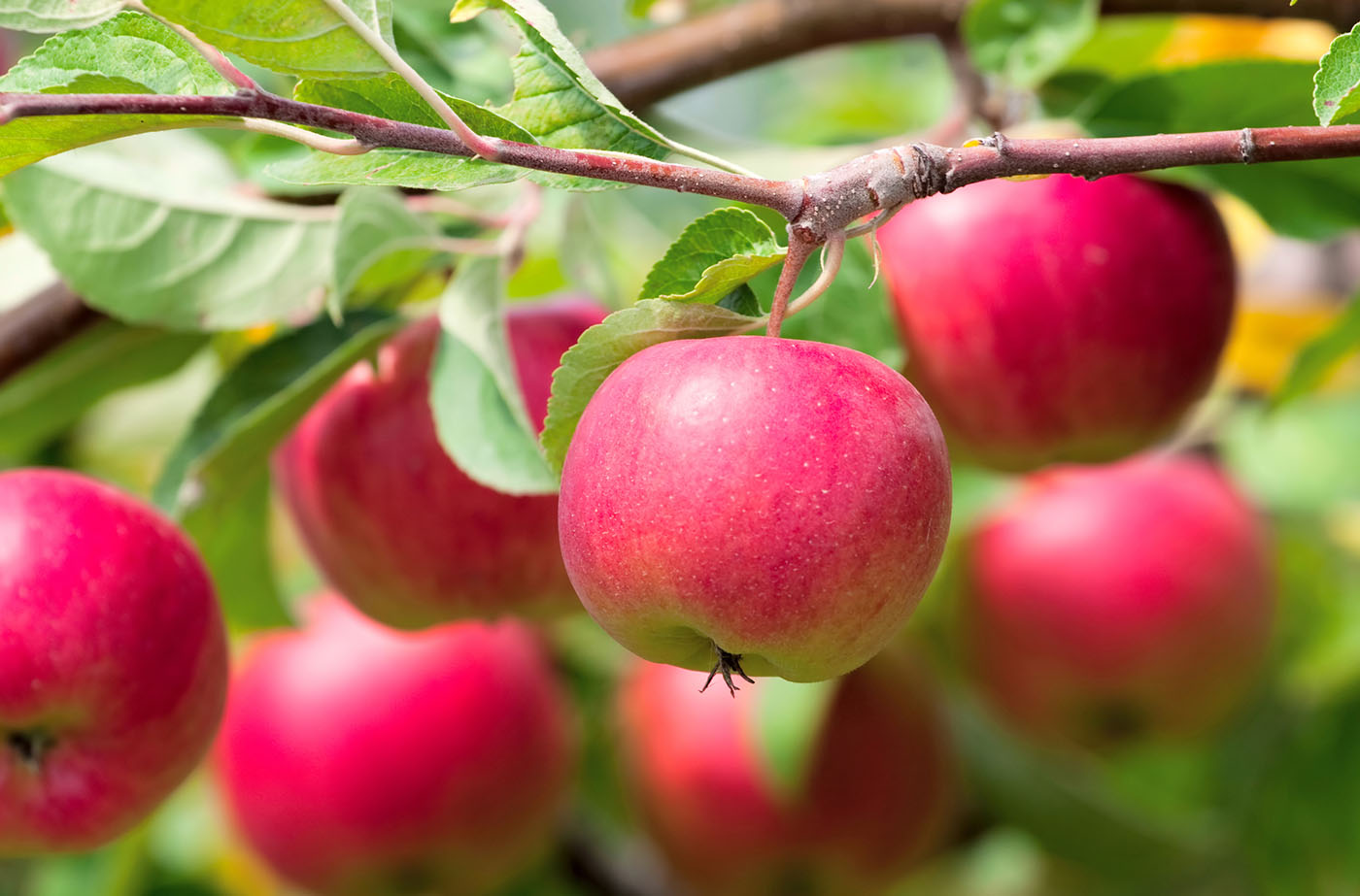 bedste æbletræ