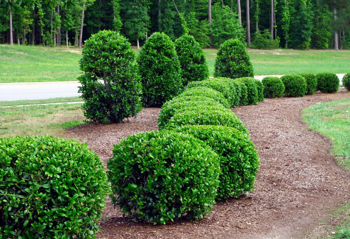 høje stedsegrønne buske