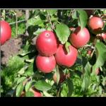 Æble 'Bellida'