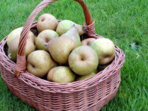 """Pyrus Communis """"Doyenne de Comice"""" - flot kraftigt pæretræ med store gulgrønne frugter"""
