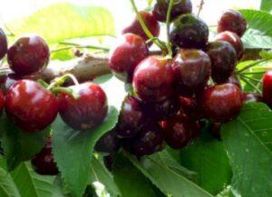 Kirsebær Prunus x Skeena – selvbestøvende med mørkerøde bær