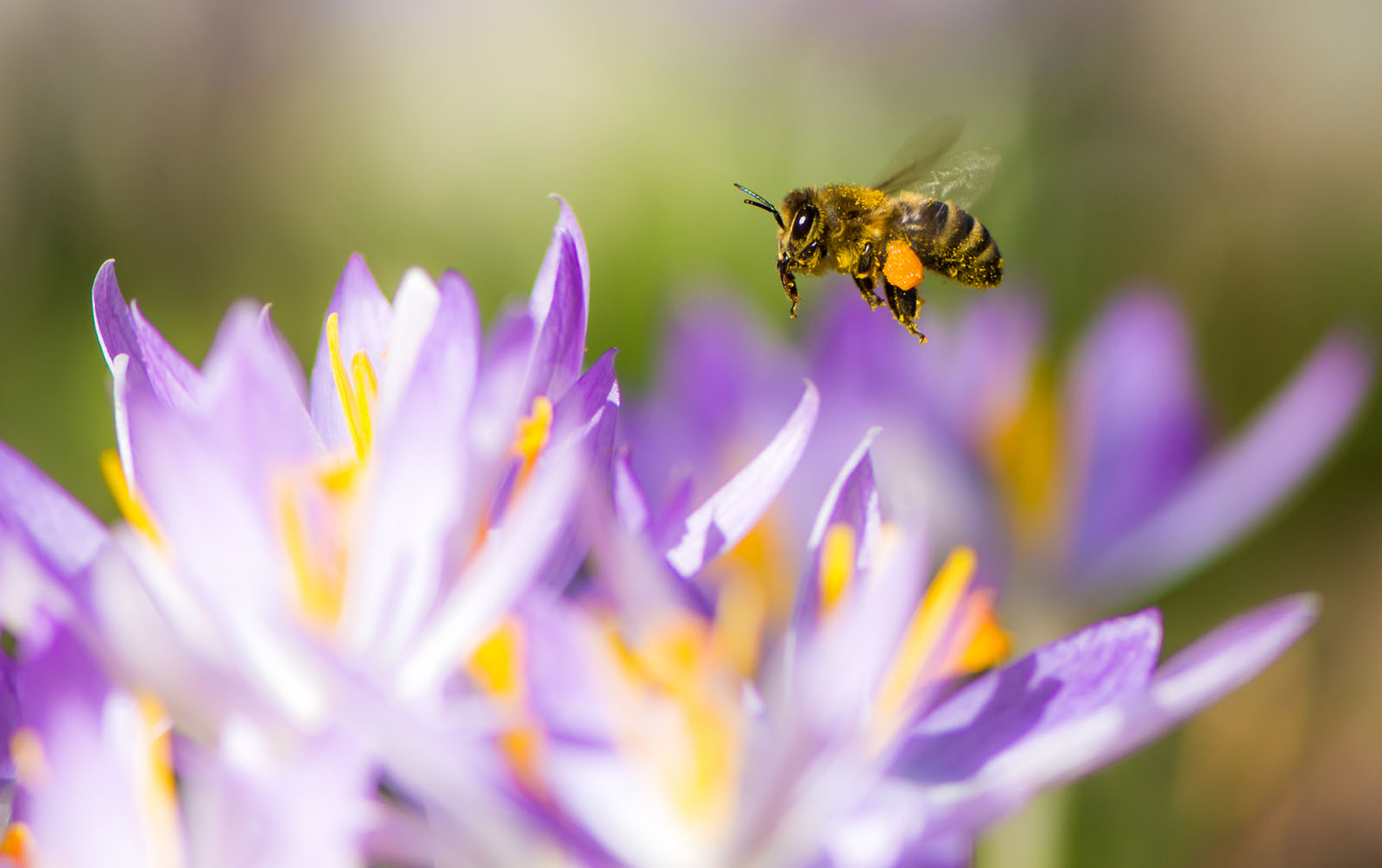 Elsker blomsterne jeg jeg bierne elsker Markblomsterbed til