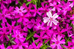 Blomstrende bunddaekke