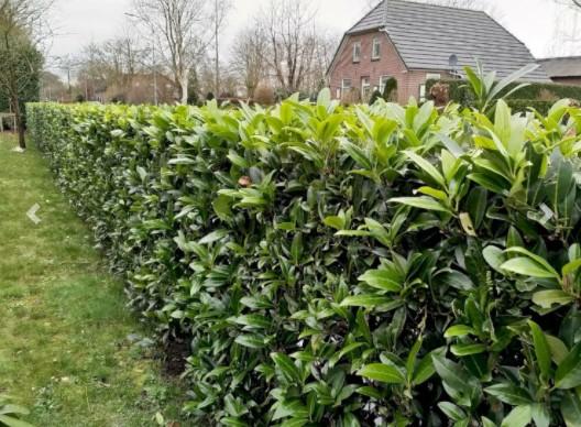 Kirsebærlaurbær 'Caucasica' – Hurtigvoksende og modstandskraftig busk