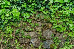 rådhusvin stedsegrøn