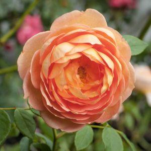 Engelske roser - smukke krydsninger