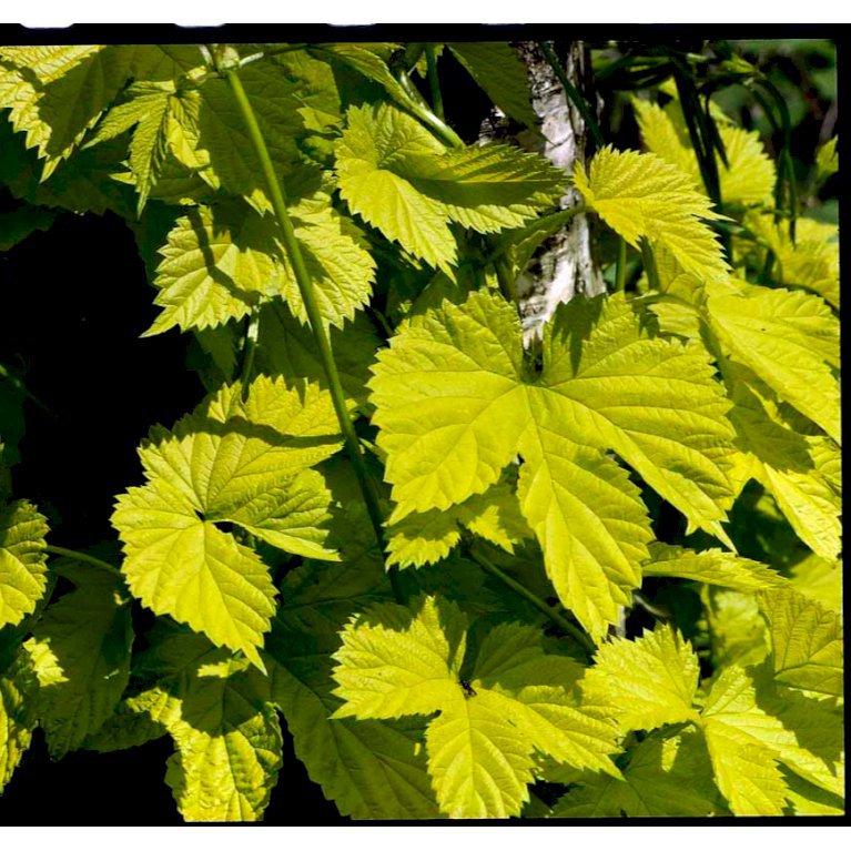 Gulbladet Humle, Humulus lupulus 'Aureus'
