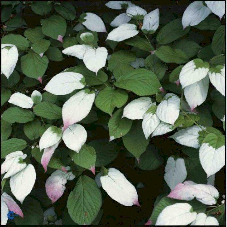 Kamæleonbusk, Actinidia kolomikta - Smukt farveskift over sommeren