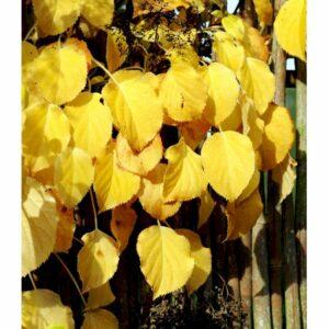 Klatrehortensia - ydrangea anomala ssp. Petiolaris