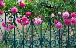 Klatreroser - kan beklæde hegn, mur og stolper