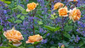 Roser med lang blomstring
