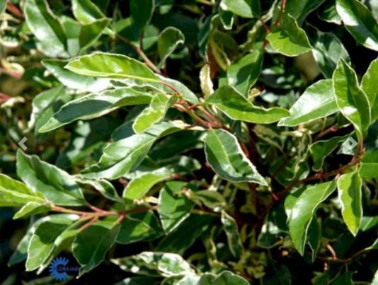 Prunus Lusitanica 'Variegata' – Dekorativ hæk med flere nuancer