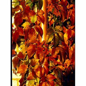 Vildvin - Parthenocissus quinquefolia var. engelmannii