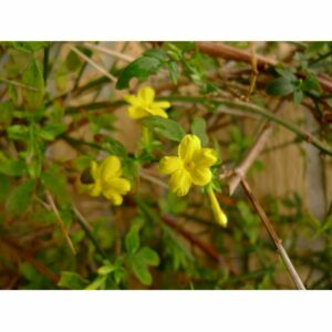 Vinterjasmin - Jasminum nudiflorum