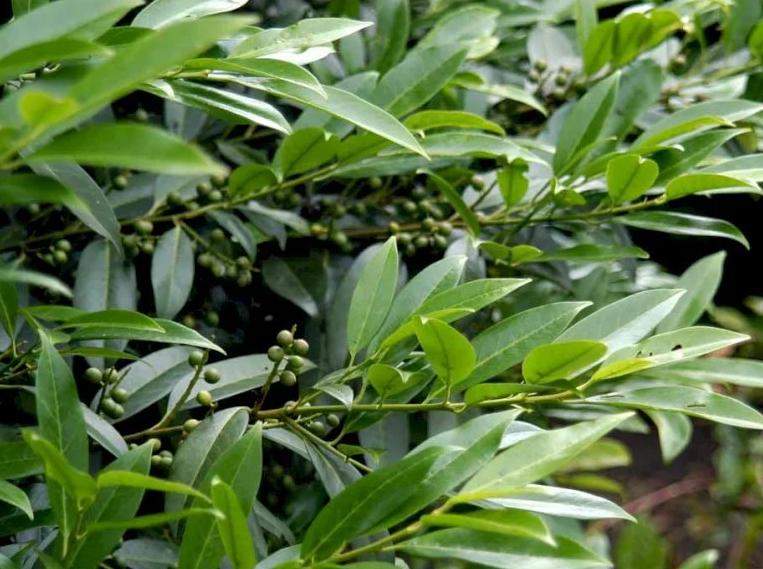 herbergii prunus