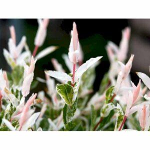 "Broget japansk pil - Salix integra ""Hakuro Nishiki"""