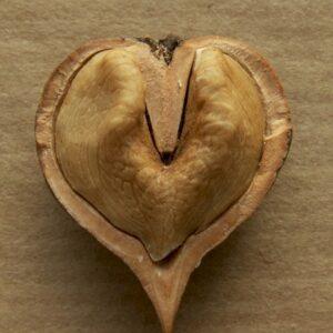 Hjertevalnød - juglans ailanthifolia-cordiformis-kalmar