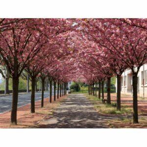 "Japansk kirsebær - Prunus serulata ""Kanzan"""