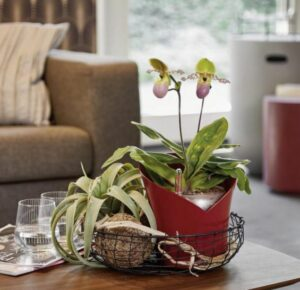 lechuza plantekrukke orchidea