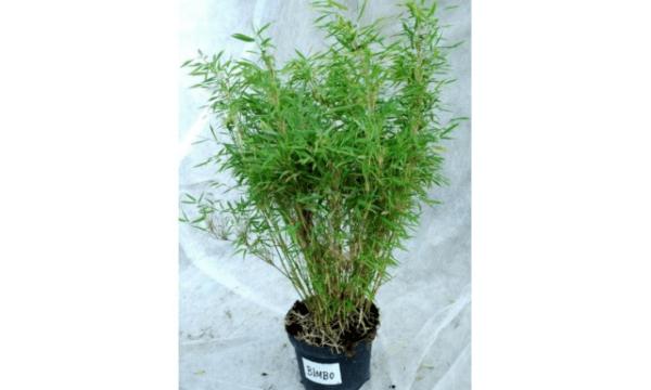 Gul mini bambus