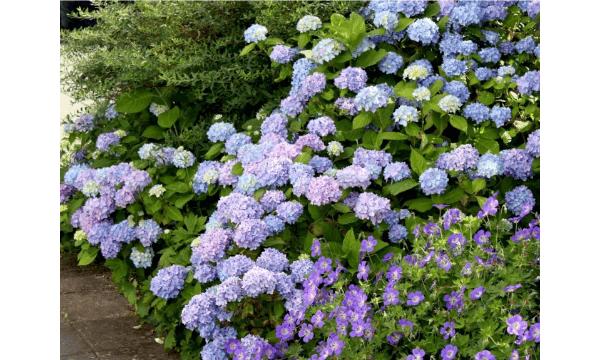Hortensia 'Clara' – Fine, blå blomster