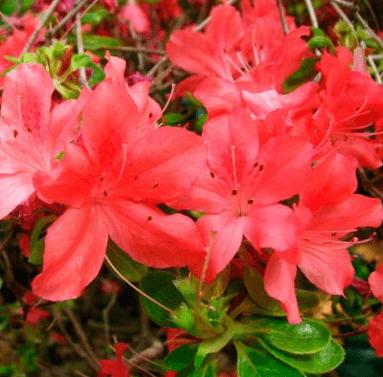 Rhododendron 'Addy Wery' – Løvfældende rhododendron med koral-farvede blomster