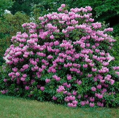 Rhododendron 'Catawbiense Grandiflorum' – Rhododendron-variant til den store have