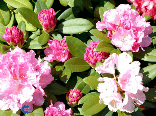 Rhododendron 'Doc' – Stor rhododendron med rosa blomster