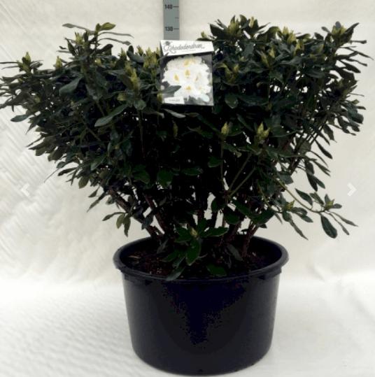 Rhododendron 'Madame Masson' – Stor og forårsglad rhododendron