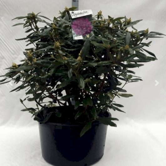 Rhododendron 'Marcel Menard' – Nemt håndterbar størrelse