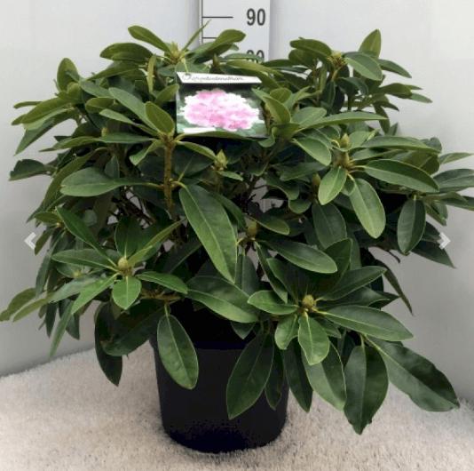 Rhododendron 'Onkel Dines' – Rosa-røde blomster med dejlig duft