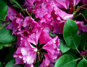 Rhododendron 'Pearce's American Beauty'