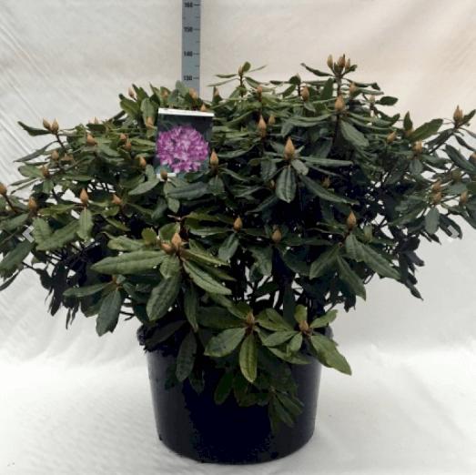 Rhododendron 'Ponticum Roseum' – Hurtigvoksende rhododendron i stor størrelse