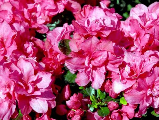 Rhododendron 'Rokoko' – Prisvenlig rhododendron i mindre størrelse