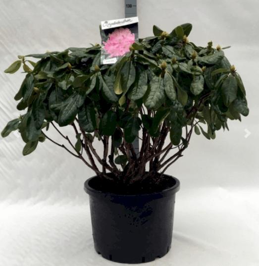Rhododendron 'Scintillation' – Rosa blomster og glinsende blade