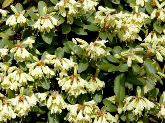 Rhododendron 'Shamrock' – Efterårsflot rhododendron
