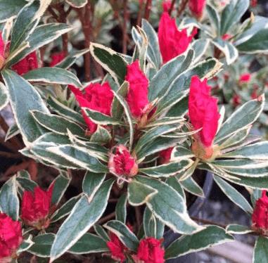 Rhododendron 'Silver Sword' – Vinterhårdfør rhododendron med spidse blade