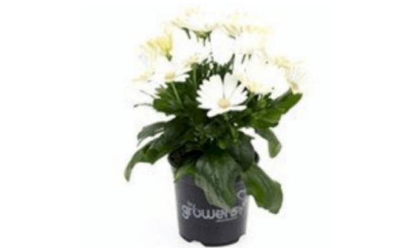 Spansk margerit – hvid – En klassisk blomst
