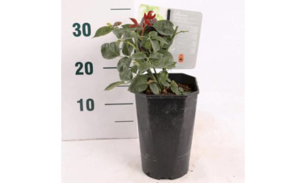 Storblomstrende rose 'Black Baccara'