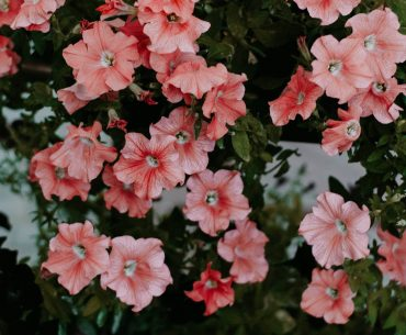 sommerblomster til krukker