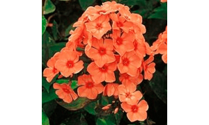 "Høstfloks ""Orange Paniculata"""