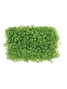 Økologisk karse – perfekt urt til vindueskarmen