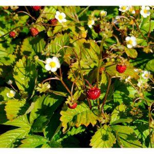 Skovjordbær – skøn plante i haven