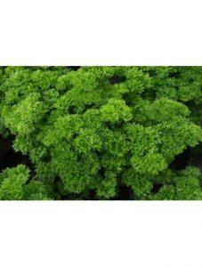 Kruspersille – hårdfør krydderurt i haven eller i vindueskarmen