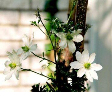 Klematis 6 dekorative slyngplanter til din have