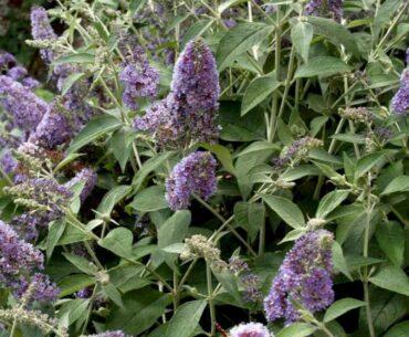 Sommerfuglebusk - perfekt til dig med en stor have men uden grønne fingre