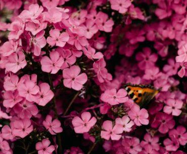 Akeleje en smuk og elegant blomst til din have