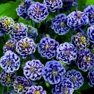 D.blue White en tæt knop til haven