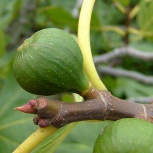 Ficus Caria 'Precose De Dalmatie' det perfekte figentræ til den danske have