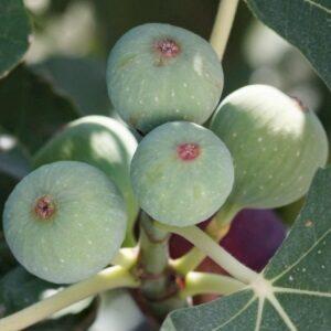 Ficus Carica 'White Marseille' (hvid/gul) stort og tidligt udbytte